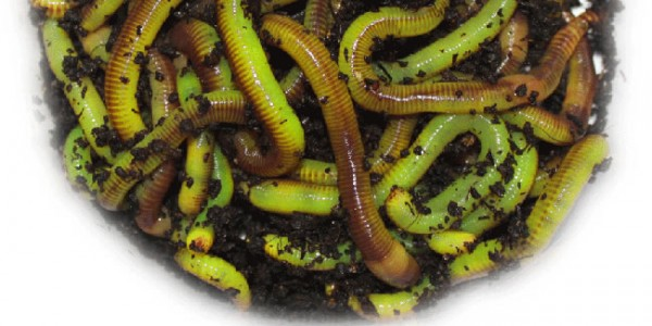 how to make live composting worms turn neon green to drive fish, Fly Fishing Bait